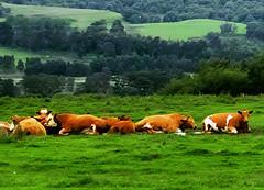 Sweet repose (Fr Paul Hackett) Tags: cows field landscape kingussie trees cloudy