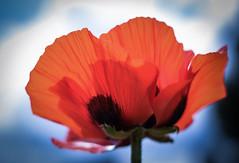 The last one for this Year (marionrosengarten) Tags: flower poppy orientalpoppy red sky bluesky frankfurt palmengarten summer sun light noble nikon50mmf18 nikon