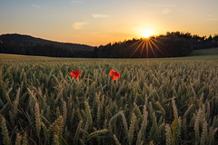 backlight poppys (Lena Held) Tags: poppys fields germany bavaria german travel global world flowers sundown sunset sunlight daylight sunstar evening canon 5dsr 1635mm f4 weitwinkel vollformat colors landscape squareformat scarf clouds sky oberpfalz cornfield mountains