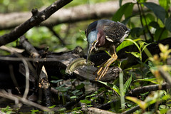 Green Heron (grobinette) Tags: greenheron heron huntleymeadowspark huntleymeadows explored