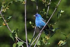 *** passerin indigo / indigo bunting (ricketdi) Tags: bird passerinindigo indigobunting passerinacyanea specanimal coth5 ngc npc