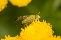 Tephritid Fly (Chaetostomella cylindrica) (The LakeSide) Tags: insect macro nikon r1c1 d7100 netherlands tanacetum vulgare chaetostomella cylindrica fly tephritidae