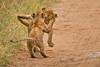 Lions of Maasai Kopjes 447 (Grete Howard) Tags: bestsafarioperator bestsafaricompany africa africansafari africanbush africananimals whichsafaricompany whichsafarioperator tanzania serengeti animals animalsofafrica animalphotos lions lioncubs maasaikopjes kopjes kopje