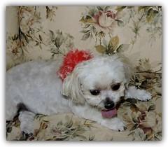Grooming Day (marilyntunaitis) Tags: groomingday dog pet bella