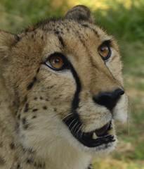(WendieLarson) Tags: animal d7000 chaffeezoo nikon nature california cat cats zoo wild wendielou wickedhair fresno
