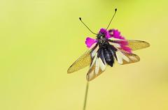 Haft (HelmiGloor) Tags: libellenschmetterlingshaft libelloidescoccajus insekten insecta macro makro olympusmzuikodigitaled60mm wildlife weiach focusbracketing focusstacking
