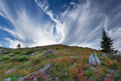 Looking back (P Matthews) Tags: lupine mtsthelens wildflowers hilltop paintbrush devastation renewal cloudswisp clouds