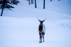 Deer (Do Rvs) Tags: winter canada parcomega animals canon canon1100d deer