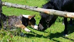 Loki (Daniella Velings) Tags: sirloki dog hond loki welshcorgicardigan corgi bluemerle pony cute schattig lief sweet mydog larocheenardenne laroche belgium kisses kusjes