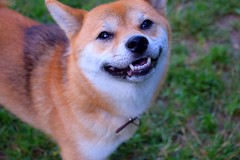 Dog smiling to the world (Narek Talatinian) Tags: dog animal pet puppy happy cute canine smiling pets shiba inu grass outdoor breed red green animals brown smile garden teeth forest