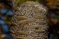 infructescence (dustaway) Tags: infructescence proteaceae banksia australianplants evanshead northcoast nsw nature australia follicles