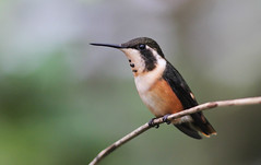 Purple-throated Woodstar (Wade Strickland) Tags: calliphloxmitchellii hummingbird ecudaor mindo losarmadillos bird