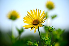 Fiore di topinambur (only_sepp) Tags: ngc collegno parcodora fiori topinambur prato estate allnaturesparadise allaperto