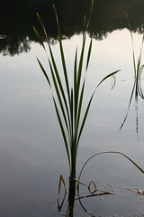 Lake Reed (eyriel) Tags: plant water lake reflection still stillness