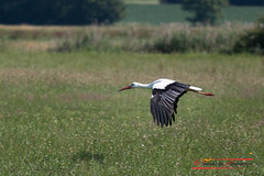 Stork approaching (Ciconia ciconia) (Thoober) Tags: 2017 70d altmühltal bayern canon deutschland eos radtour storch stork ciconiaciconia ef70200l landing nature natur bavaria white black feathers field birding wilderness animal tier outdoor