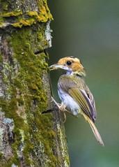 Rufous-faced Warbler棕面鶯1 (Allen Lee(houpc)) Tags: 2017 nikon nikond810 300mmf4 tc14eii 樹鶯科 南投