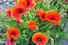 Poppies (grapatax) Tags: poppies papaveri