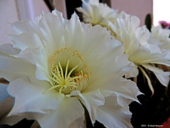 Echinopsis (Paolo Bonassin) Tags: echinopsis cactaceae cactacee cactus succulente flowers