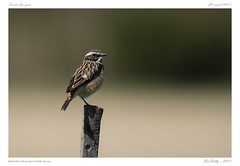 Tarier des près | Whinchat (BerColly) Tags: france auvergne puydedome oiseau bird tarier whinchat bokeh printemps springs portrait bercolly google flickr