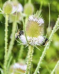 Double Dipping (jmhutnik) Tags: thistle flower bees bokeh greenbottomwildlifemanagementarea westvirginia lesage cablecounty web wildflower