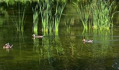Nager dans les reflets (Diegojack) Tags: lausanne vaud suisse sauvabelin reflets canards colverts verdure roseaux