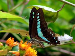 DSC01389 Common Blue Bottle (Graphium sarpedon) (vlupadya) Tags: greatnature animal fauna lepidoptera common bluebottle butterfly garphium kundapura karnataka