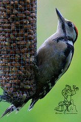 Great Spotted Woodpecker (Dendrocopus major) Juv. 4-7-16 (Brian Carruthers-Dublin-Eire) Tags: woodpeckers picidae dendrocopos major great spotted woodpecker pic epeiche buntspecht carpintero picapinos grote bonte specht mórchnagaire breac piciformes bird animalia animal dendrocoposmajor greatspottedwoodpecker picepeiche carpinteropicapinos grotebontespecht wildlife