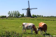 Cows near the mill (Stephan Neven) Tags: windmill haastrecht cow mill landscape outdoor polder summer sky blue grassland grass
