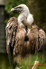 Griffon Vulture (Gyps fulvus) (Thoober) Tags: 2017 canon duisburg eos tiere zoo animals griffonvulture gypsfulvus gänsegeier geier vogel bird raptor greifvogel