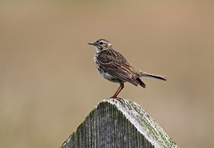 Meadow Pipit (R.Miller1979) Tags: birds bird meadows grassland meadow pipit post wooden brown markings fauna wildlife nature naturereserve northumberland