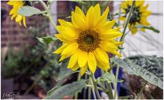 Summer Sun (mattpacker1978) Tags: sunflower garden yellow plant love branch green leaves pot growing canon canon700d canondigital dslr 1855mm home lovely beautiful color colours bright tall