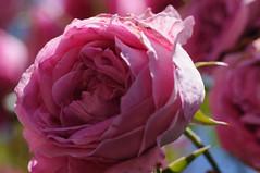 20170611_Jardins_Secrets_Vaulx_Fl (2 sur 23) (calace74) Tags: rhonealpes fleurs france jardin jardinssecrets macro