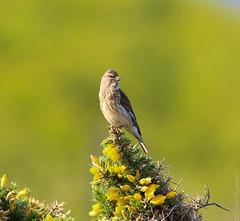 Linnet (Silke_Einschuetz) Tags: wales cymru ceredigion coast path clarach bay spring birds linnet borth