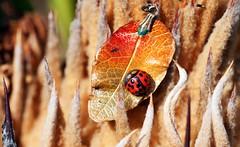 unreal (Leonard J Matthews) Tags: leaf ladybird jewellery art abstract fantasy mythoto plant imagine imagination creative