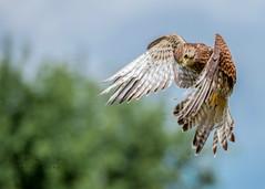 Kestral (Ruth S Hart) Tags: kestral hovering motion fast speed birdofprey nikond700 nikon70200mm flight bird ©ruthshart pippin edenfalconry goingdigital thebistro
