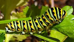Black Swallowtail (Papilio polyxenes) caterpillar (larva). Albuquerque, New Mexico, USA. (cbrozek21) Tags: 7dwf caterpillar blackswallowtail papiliopolyxenes butterflylarva pentaxart astoundingimage fantasticnature