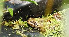 3728 Frogs (Andy - Busyyyyyyyyy) Tags: ddd duckweed fff frog gardenshoot ggg green pond ppp