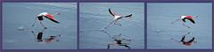 DSC_9353-5 (Sassaker2010) Tags: capetown southafrica flamingo woodbridgeisland milnerton