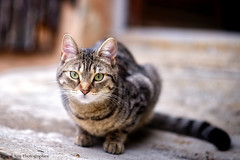 _DSC8443_S&G_v1 (Pascal Rey Photographies) Tags: chat chatte cat gato gatto katze animalerie animals animales animali extérieur outside outdoor photographiecontemporaine pascalreyphotographies nikon d700 pet compagnon