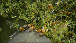 P1180082-1 - Water foraging honey bees.