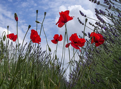 Poppies!!! (*steve booth) Tags: