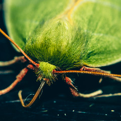 Fur (johnny.cvetkovic) Tags: bug insect butterfly nature macro closeup detail green summer life earth beautiful portrait