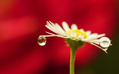 Daisy 3197 (YᗩSᗰIᘉᗴ HᗴᘉS +6 500 000 thx❀) Tags: daisy flower drop red white fleur goutte creative macro sony helios hensyasmine
