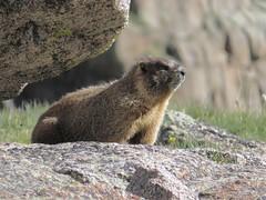 Yellow Bellied Marmot (kyleedwards4) Tags: yellowbelliedmarmot colorado chicagolakes upperchicagolake marmota flaviventris