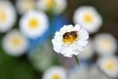 Just bee happy! ;0) (suekelly52) Tags: bee bokeh flower pollination solitarybee chrysanthemum