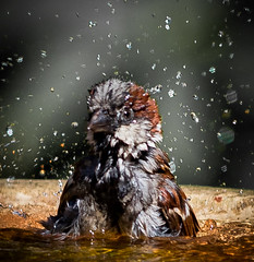 Freshen up. (Stu thatcher) Tags: 7d canon thatcher stuart sparrow bird uk water bath fast shutter speed birds wet splash britain england english worcester worcestershire