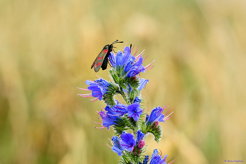 Six-Spot Burnet (Zygaena filipendulae) feeding on Viper's Bugloss (Echium vulgare)