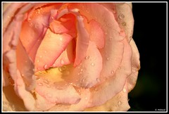 Après la pluie (Guenever45) Tags: fleurs rose gouttelettes pluie nature jardin gouttes pétales