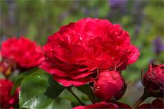 roses are red........... (atsjebosma) Tags: roses rozen red rood summer macro bokeh atsjebosma groningen thenetherlands zomer june juni 2017 lavender lavendel ngc coth5 npc