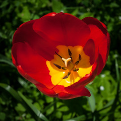 sunny (pt. 1) (marinachi) Tags: red sunny green tulip flowers yellow may yourbestshot